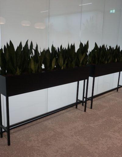 zwart stalen bak met sanseveriera zeylanica compacta